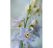 Delphiniums Photographic Print