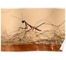 Mantis Juvenile attacking a human! Poster