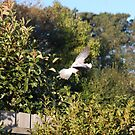 Galah in Flight  by lettie1957