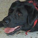 Molly the Labrador  by lettie1957