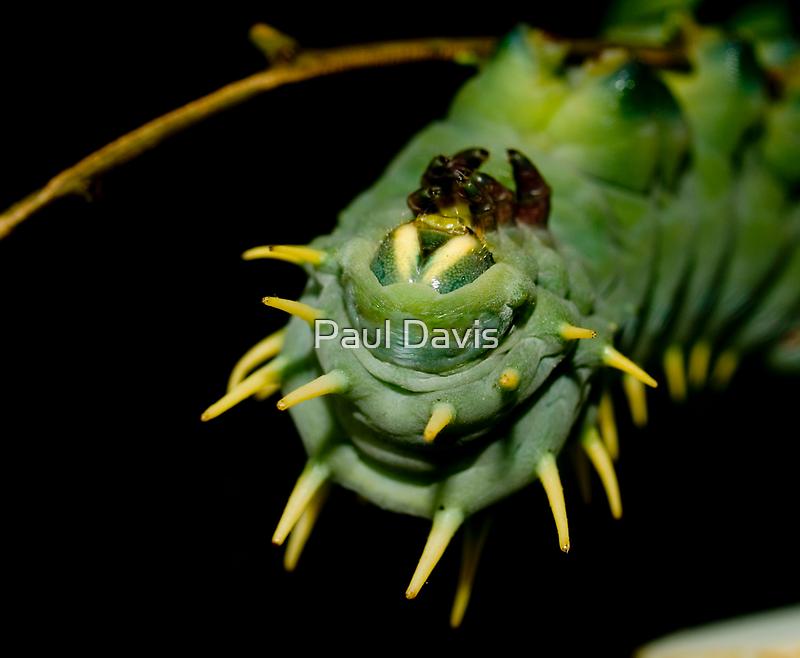 Hercules Moth - Caterpilla  by Paul Davis