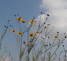 Plains Coreopsis by May Lattanzio