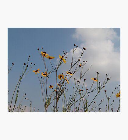 Plains Coreopsis Photographic Print