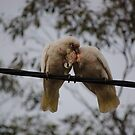 Pair of Corellas by lettie1957