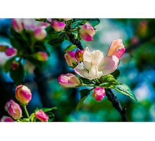 Crabapple flower and buds Photographic Print