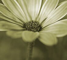 Daisy by MDossat