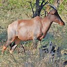 Red Hartebeest - Moremi Game Reserve, Botswana by Adrian Paul