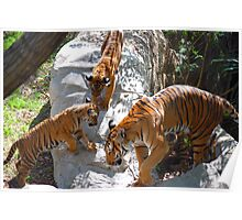 Tiger cubs and mother Poster