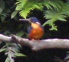 Azure Kingfisher by gaylene