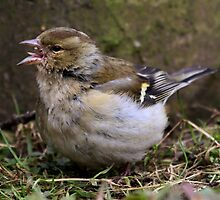 Fringilla Coelebs - Common Chaffinch (female) - eating seed by Robert Flynn