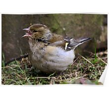 Fringilla Coelebs - Common Chaffinch (female) - eating seed Poster