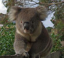 Koala  by mspfoto