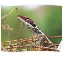 Central Australian Lizard, Alice Springs Northern Territory Australia Poster
