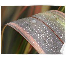 Dew on Flax Leaf, Mannum South Australia Poster