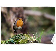 European Robin - Erithacus Rubecula - Robin Red Breast Poster