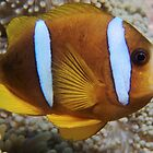 Barrier Reef Anemonefish by Erik Schlogl