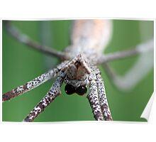 Net-casting Spider - Deinopis ravidus  Poster