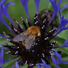 Bee on Centaurea by RCrabb