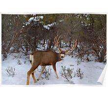 Whitetail Buck  Poster