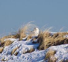 Snowy Owl by chazz
