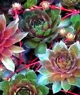 Succulent Rainbow by RC deWinter