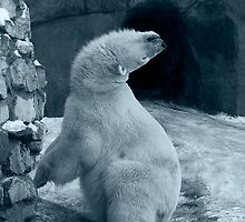 White Bear at Zoo by piscari