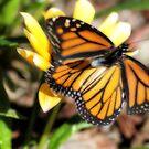 Monarch in Flight by Donna Adamski