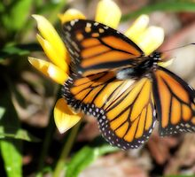 Monarch in Flight by Donna Adamski