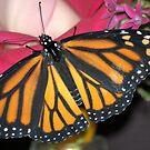 Monarch Love by Donna Adamski