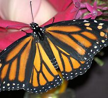 Monarch Love by Donna Adamski