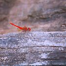 Red Dragonfly by Sheldon Pettit