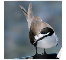 Bridled Tern, Penguin Is. W.A.  Poster