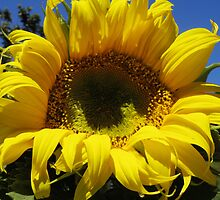 Sunflower 3 by TracyD