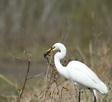 Egret with lunch by H & B Wildlife  Nature Photography