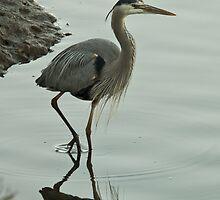 Great Blue Heron  by David Jones
