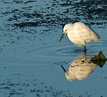 Snowy Egret by David Jones