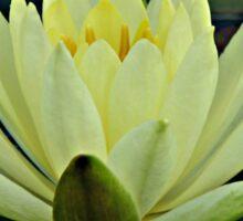 Lemon Water Lily in Low Light Sticker