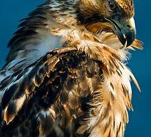 Galápagos Hawk  by Anthony Begovic