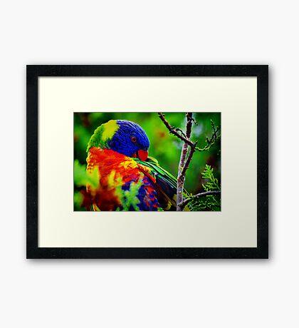 Rainbow Preening Framed Print