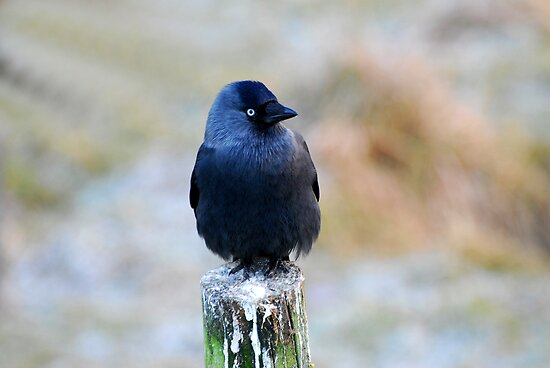 Jackdaw (Corvus Monedula) by ©FoxfireGallery / FloorOne Photography