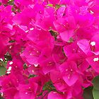 Beautiful Blooming Bourgainvillea by justbyjulie
