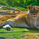 Lioness at Werribee by Tom Newman