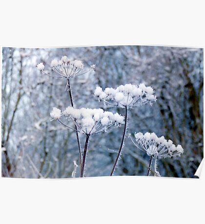 Snowy Flower Heads Poster