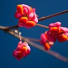 Pink Spindle fruit - Euonymus europaeus by David Isaacson