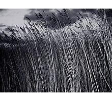 winter grasses Photographic Print