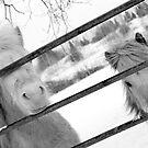 Snowy Ponies by Sophie Watson