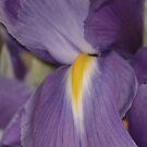 Purple iris with yellow heart macro by loiteke