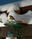 Snowy Robin by davesphotographics