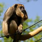 Female Black Howler Monkey by Anne-Marie Bokslag