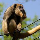 Primates ~ by Anne-Marie Bokslag by Anne-Marie Bokslag